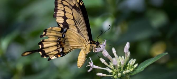 Schmetterlingstraum (Zhuangzi)